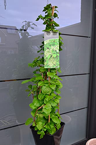 Kletterhortensie Hydrangea petiolaris 80 - 100 cm hoch im 5 Liter Pflanzcontainer