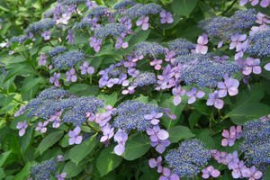 Hydrangea serrata 'Bluebird' - (Tellerhortensie 'Bluebird')- Containerware 30-40 cm