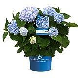 Endless Summer 'The Original' Hortensie , der Klassiker im intensiven blau , winterhart , mehrjährig , Pflanze für Garten, Terrasse, Balkon oder Kübel