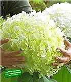 BALDUR Garten Freiland-Hortensien 'Incrediball®', 1 Pflanze Hydrangea arborescens Gartenhortensie winterhart