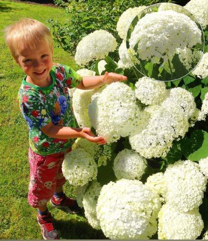 Seltene Schneeball-Hortensien 'Annabelle', Hortensien-Paniculata 'Magical Moonlight' winterharte mehrjährige Blumensamen in Bordüre, ein großer Terrassenbehälter