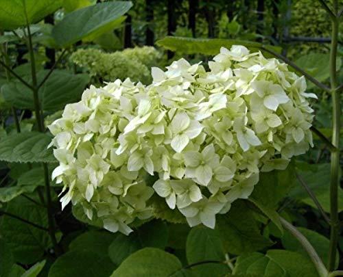 Schneeballhortensie Grandiflora - Hydrangea arborescens Grandiflora (40-60)