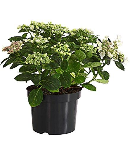 Dehner Teller-Hortensie, üppige weiße Blüten, ca. 30-40 cm, 21 cm Topf, Zierstrauch