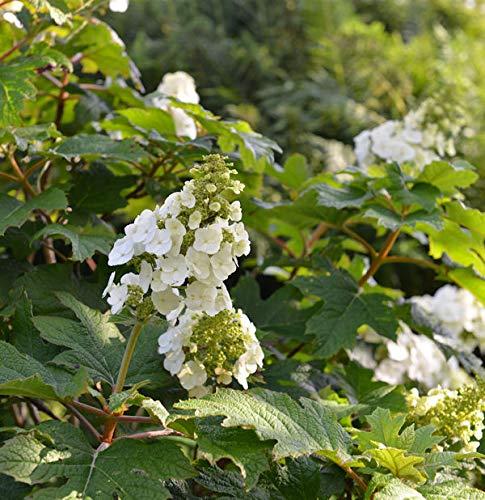 Eichenblättrige Hortensie Applause 30-40cm - Hydrangea quercifolia
