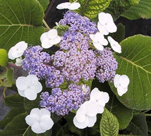 Samthortensie Macrophylla - Fellhortensie - Hydrangea aspera Macrophylla