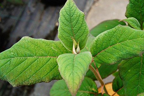 Hortensie Samthortensie Hydrangea aspera Macrophylla Containerware 40-60 cm hoch