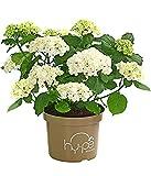 Dehner Garten-Hortensie'Curly Wurly', große weiße Blüten, ca. 40-50 cm, Zierstrauch