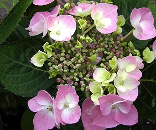 Tellerhortensie Rosalba - Schirmhortensie - Hydrangea serrata Rosalba
