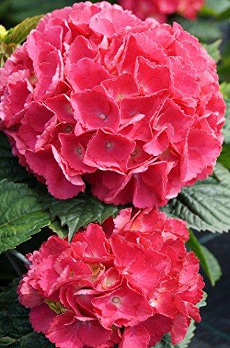 Hortensie Bauernhortensie Red Baron Hydrangea macrophylla Red Baron Containerware 30-40 cm