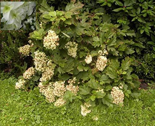 Eichenblatthortensie Snowflake - Eichenblättrige Hortensie - Hydrangea quercifolia Snowflake Preis nach Größe 80-100 cm