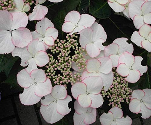 Bauernhortensie Love you Kiss - Tellerhortensie - Gartenhortensie - Hydrangea macrophylla Love you Kiss