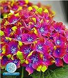 BALDUR Garten Freiland-Hortensien 'Saxon® Schloss Wackerbarth', 1 Pflanze Hydrangea macrophylla Garrtenhortensie winterhart