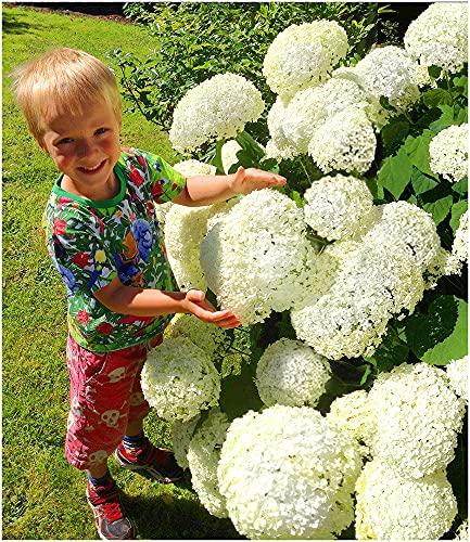 BALDUR Garten Schneeball-Hortensie Annabelle;1 Pflanze Gartenhortensie winterhart Hydrangea arborescens