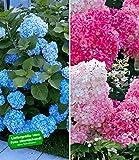 BALDUR Garten Winterhart Hortensien-Sortiment Hydrangea blau und rosa, 2 Pflanzen Freiland-Hortensie 'Vanille Fraise® und Bauern-Hortensie 'Générale Vicomtesse de Vibraye®'