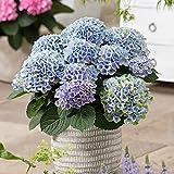 Hydrangea Magical Coral Blue | Hortensie Blau | Lieferhöhe 20-25cm | Topfgrö?e Ø14cm