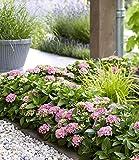 BALDUR-Garten Hortensien-Hecke Forever & Ever® Hortbux®,2 Pflanzen