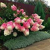 50 Vanilla Strawberry Hortensien Blumensamen als Bonsai Pflanze oder Baum im Topf oder Boden Hydrangea macrophylla für Heim & Garten