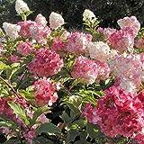 Rispenhortensie Vanilla Fraise cremeweiß-rosa- purpurrot - Hortensie winterhart & mehrjährig - Hydrangea paniculata - 1 Pflanze von Garten Schlüter - Pflanzen in Top Qualität