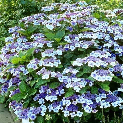 Tellerhortensie Mariesii Perfecta * Hortensie * Blume * Pflanze
