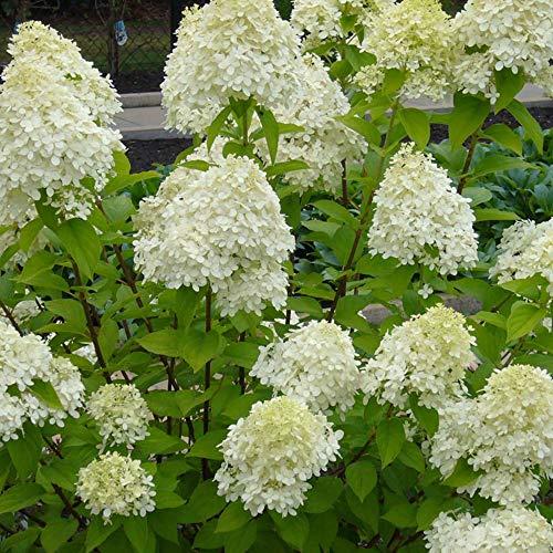 Hydrangea paniculata'Limelight' | Rispenhortensie | Weiß-grüne Blüte | Winterfest | Höhe 25-30cm | Topf-Ø 14cm