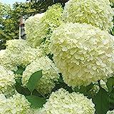 Mein schöner Garten Rispenhortensie 'Limelight' 2er Set - Hortensie - Hydrangea paniculata Limelight - Blütenbälle in weiß - Liefergröße inklusive Topf 20-40cm - winterhart - mehrjährig
