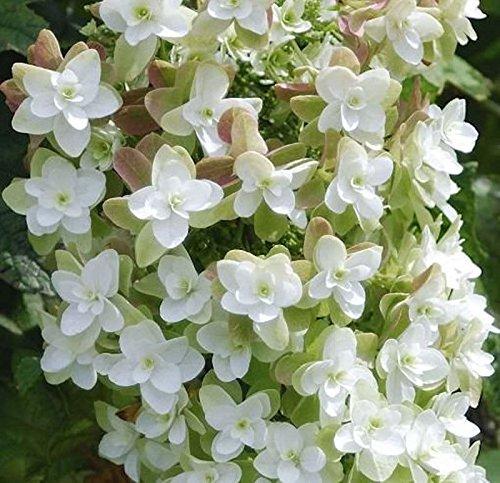 Eichenblättrige Hortensie Harmony 30-40cm - Hydrangea quercifolia