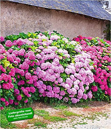 BALDUR Garten Freiland-Hortensien-Hecke 'Pink-rosé',3 Pflanzen, Rosa Bauernhortensie, Hydrangea Gartenhortensie winterhart blühende Hecken
