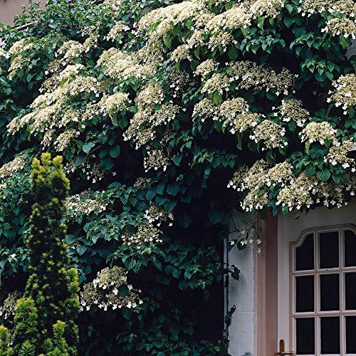 Hydrangea petiolaris | Kletterhortensie Winterhart | Hortensie Garten | Höhe 55-65 cm | Topf-Ø 15 cm