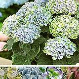 Hydrangea macrophylla'Revolution Blue' | Hortensien Blau Grün | Winterharte Pflanzen für Garten | Höhe 15-20 cm | Topf-Ø 12 cm