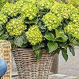 Hydrangea macrophylla Rembrandt'Vibrant Verde' | Hortensien Grün Rosa | Winterharte Pflanzen für Garten | Höhe 15-20 cm | Topf-Ø 12 cm