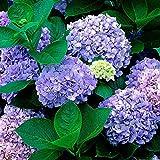 20 kapseln/Tasche Non-GVO Hortensien Pflanzen Samen Für Pflanzen Hof Garten Im Freien