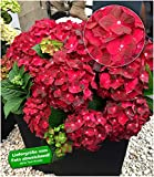 BALDUR Garten Freiland-Hortensie Ruby Tuesday 12 cm-Topf 1 Pflanze Hydrangea macrophylla