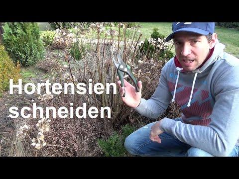 Hortensien schneiden Bauernhortensien und Rispenhortensien richtig zurückschneiden