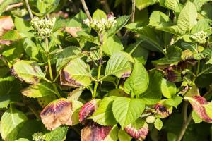 Hortensien Krankheiten