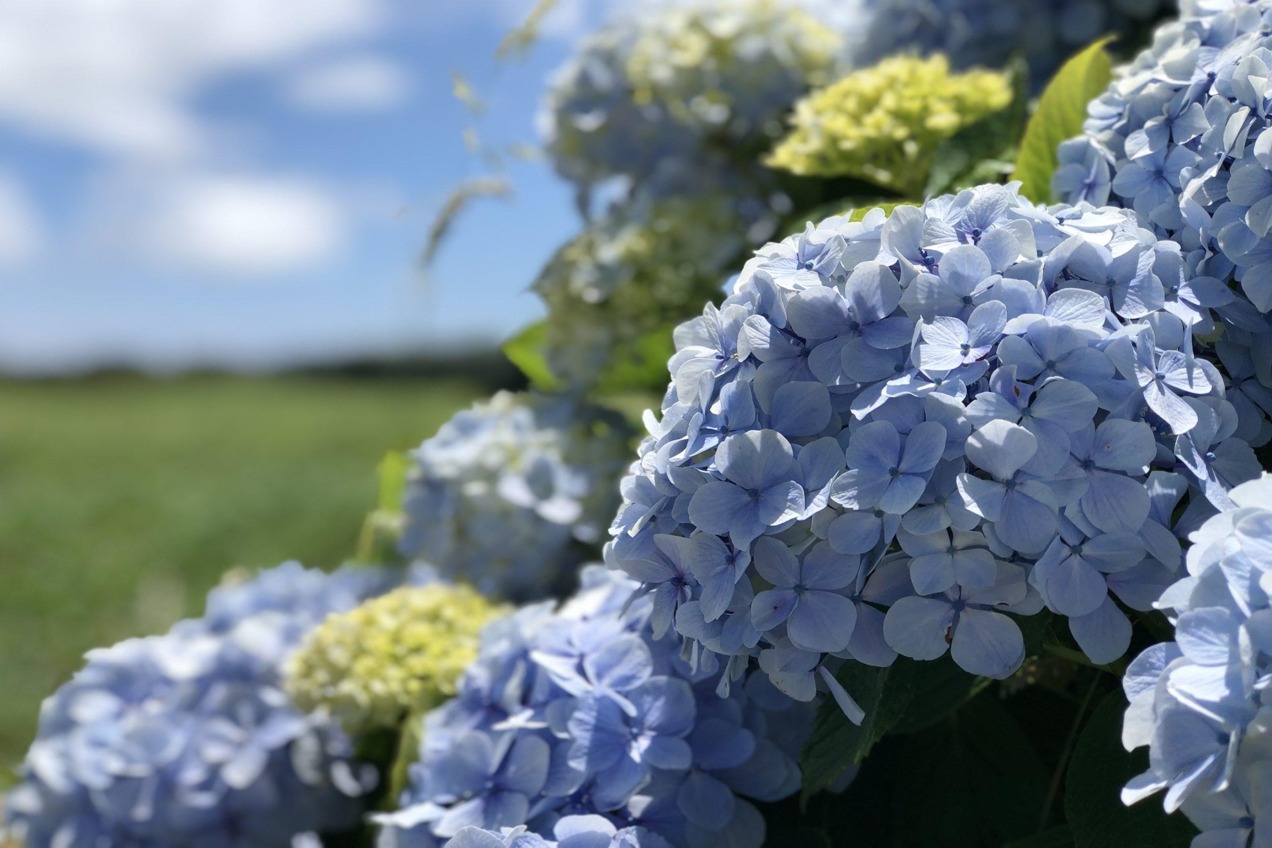 Hortensie bluehend auf den Azoren